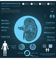 Kidney Infographic Infocharts Health And Medical vector image
