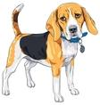 sketch serious dog Beagle breed vector image vector image