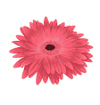pink gerbera isolated on white background vector image