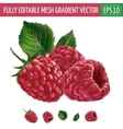 Raspberries on white background vector image
