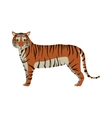 tiger wild animal vector image