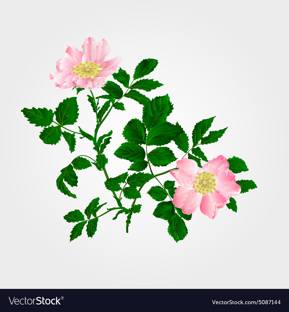 Eglantine twig with leaves and flowers vector