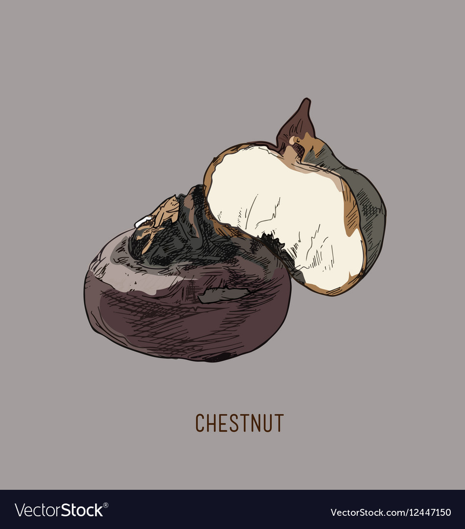 Highly detailed clip art of chestnuts vector