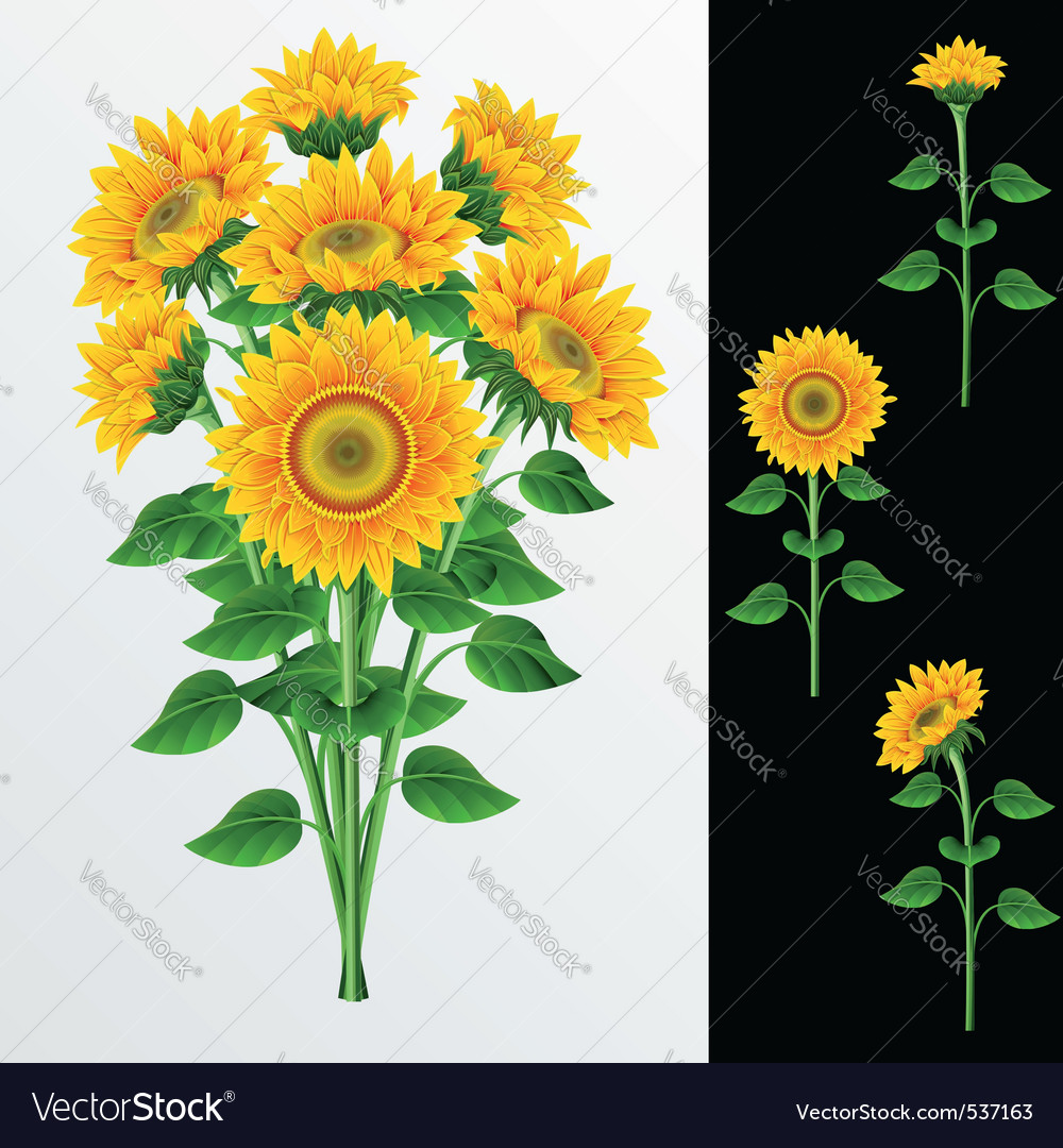 Bouquet from yellow sunflowers on a white backgrou vector