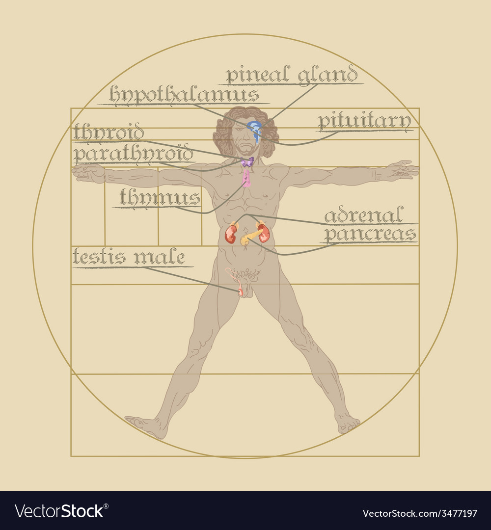 Endocrine system on the vitruvian man vector