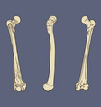femur bone anatomy vector image