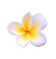A beautiful white flower called pachipodium lamer vector image