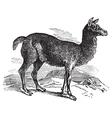 Alpaca vintage engraving vector image