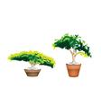 Two Evergreen Plant in Terracotta Flower Pot vector image