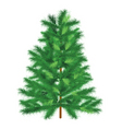 conifer spruce on white background vector image