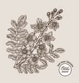 hand drawn olibanum tree branch with flowers vector image