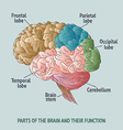 Parts of the human brain vector image