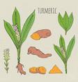 turmeric medical botanical isolated vector image