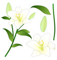 lilium candidum the madonna lily or white lily vector image
