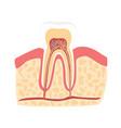 cartoon healthy tooth vector image