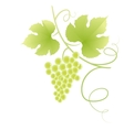 Beautiful green grape vine vector image