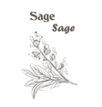 Sage herb spice Sketch drawing of a sage vector image