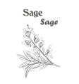 Sage herb spice Sketch drawing of a sage vector image