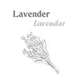 Lavender herb spice Sketch drawing lavender vector image