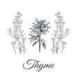thyme set collection of thyme vector image