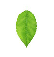 green leaf juicy from the vector image