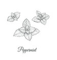 peppermint set collection of peppermint vector image