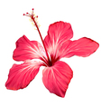 Hibiscus flower blossom art vector image vector image