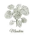 monstera plant skech monstera hand drawing vector image