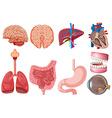 Set of human anatomy vector image