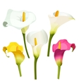 Collection of coloured arum lilies on white vector image