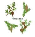 Pinaceae plants set vector image vector image