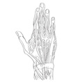 hand dorsal muscles vector image