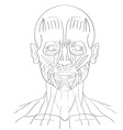 face muscle vector image