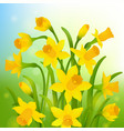 spring post card with narcissus vector image