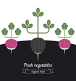 Radish and black radish vegetables vector image