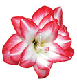 Red and white blooming flower vector image