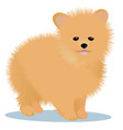spitz dog vector image