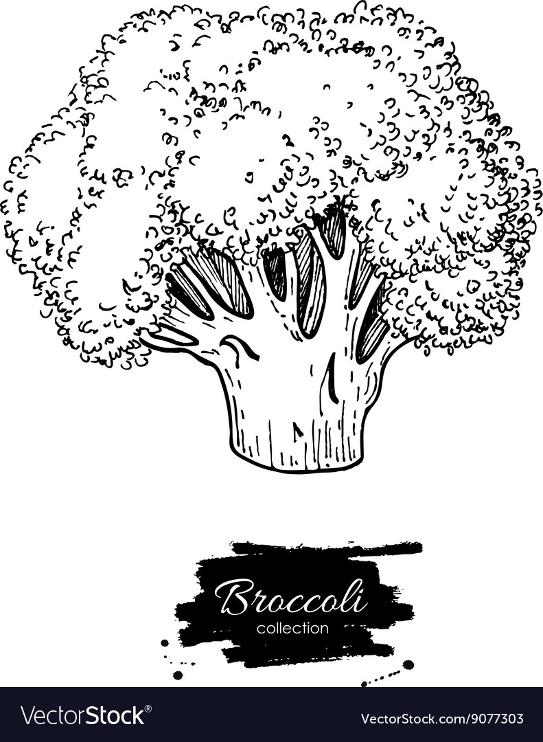 Broccoli hand drawn vegetable vector