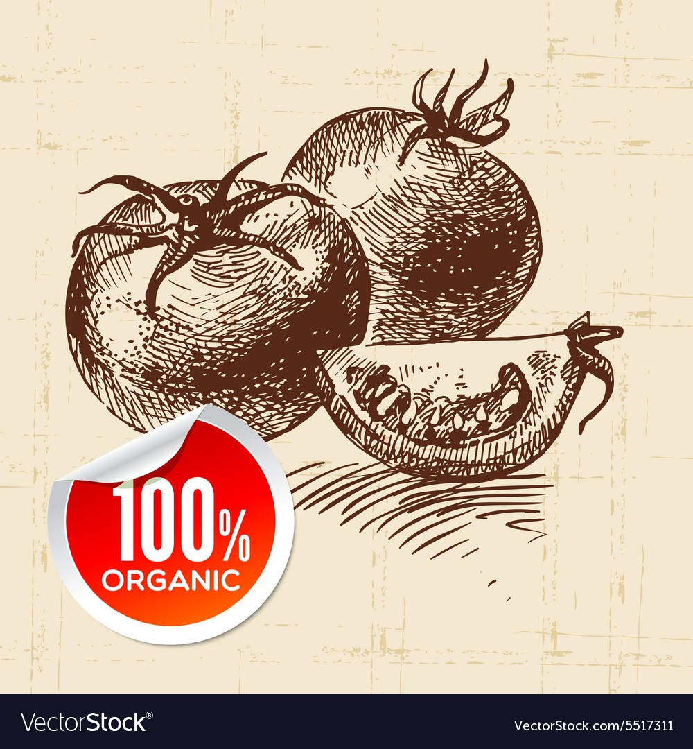 Hand drawn sketch vegetable tomato eco food vector