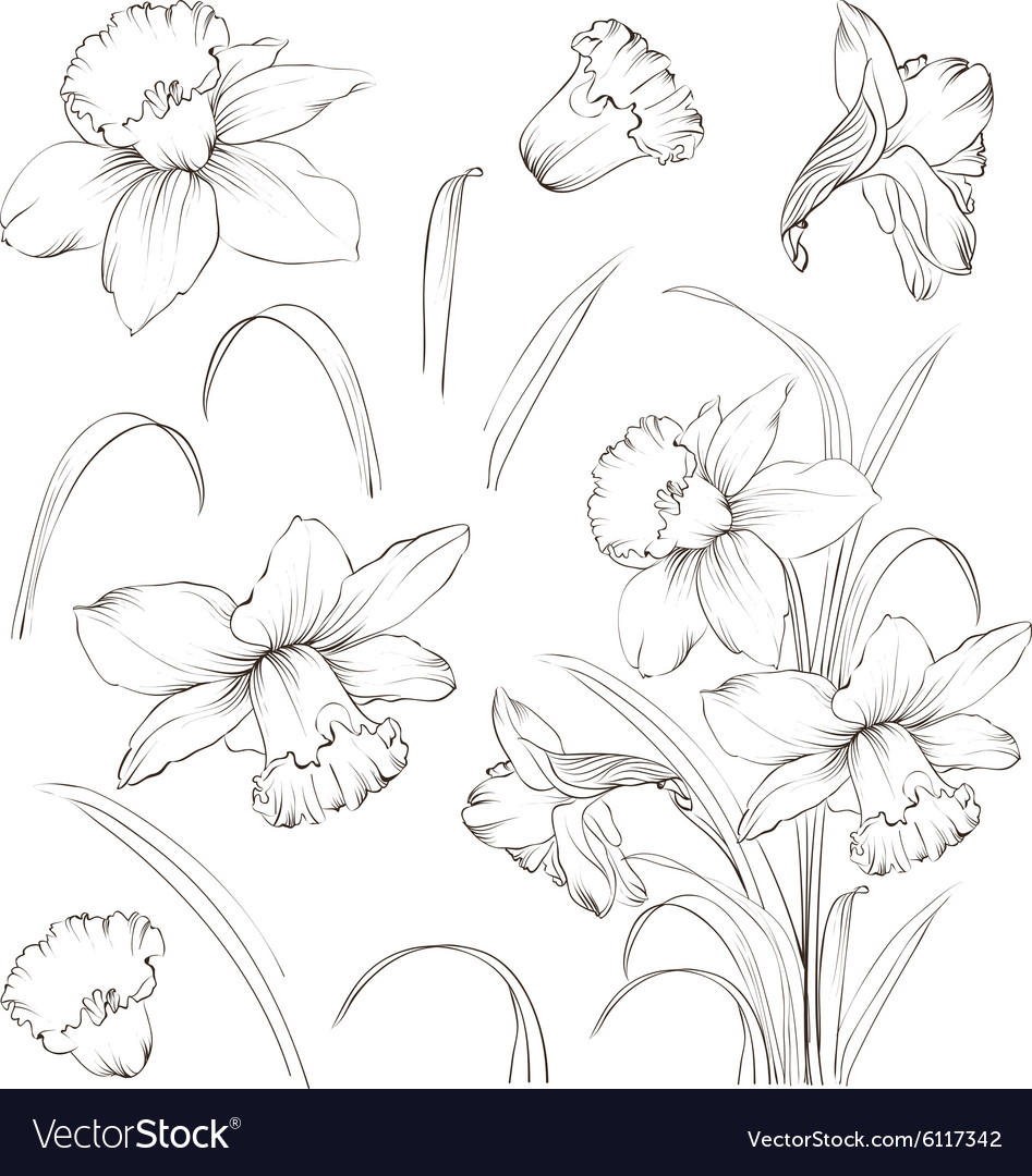 Set of line drawing narcissus vector