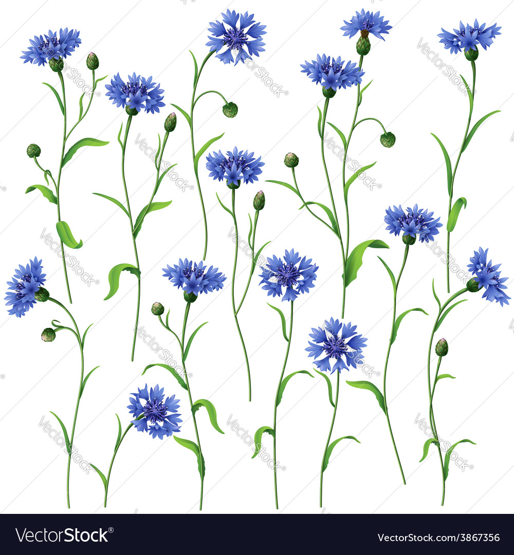 Cornflower set vector