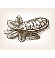 Cocoa bean plant hand drawn sketch style vector image