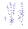 Purple lavender flowers victor hand drawn vector image