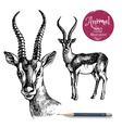 Hand drawn antelope animal Sketch isolated vector image