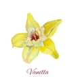 flower vanilla watercolor painting on white vector image