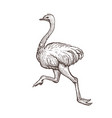 Ostrich bird farm animal sketch isolated running vector image