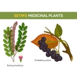 Aronia melanocarpa or arbutifolia prunifolia or vector image