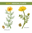 Wolgensis and spring adonis flowering medicinal vector image