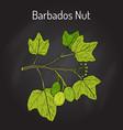 barbados nut jatropha curcas  tropical poisonous vector image