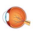 a human eye anatomy vector image